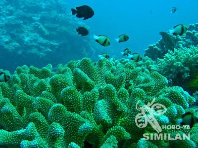 ハナヤサイサンゴ