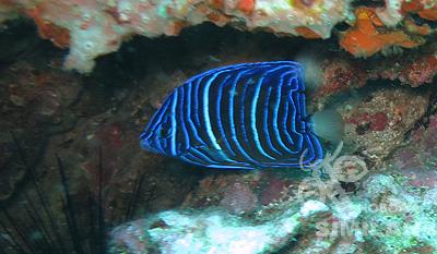 ワヌケヤッコの幼魚