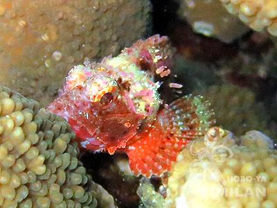 サンゴの間に住むフサカサゴ