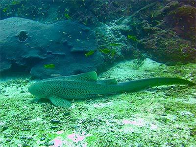 水底で休むレオパードシャーク
