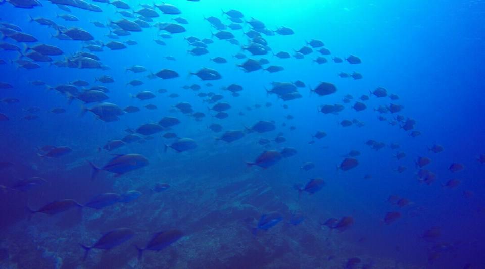 ボン島のカスミアジの大群